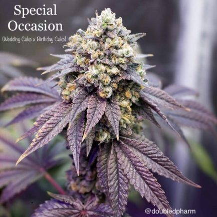 Birthday Cake Feminized Seeds