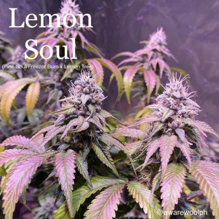 Lemon Tree Feminized Seeds