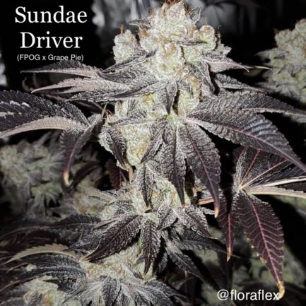 Sundae Driver Regular Seeds