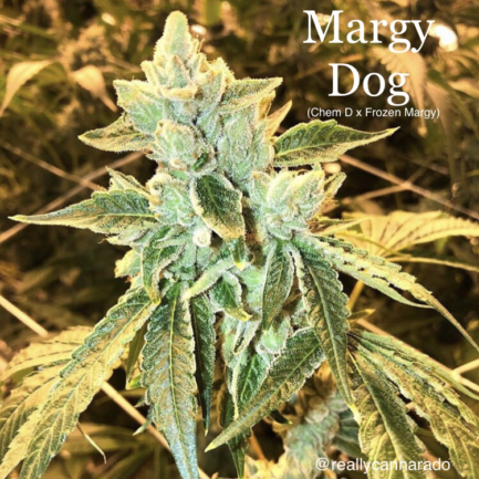 Frozen Margy Regular Seeds