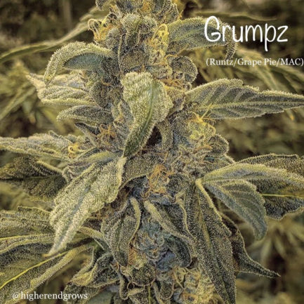 Grumpz Regular Seeds