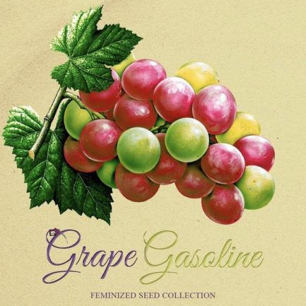 Grape Gasoline Feminized Seeds